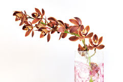 Burgundy cymbidium orchid flowers Royalty Free Stock Photography