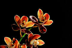 Burgundy cymbidium orchid flowers Stock Images