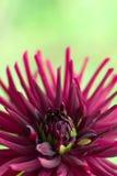 Burgundy dahlia flower close up Stock Images