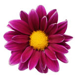 Burgundy Daisy Flower isolated on white Stock Images