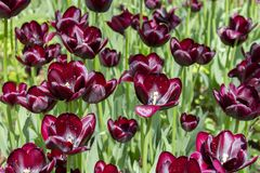 Burgundy dark red wine tulips, flowers cultivated varietal tulips of dark color. almost black tulips. Burgundy dark red wine tulips, garden flowers cultivated stock photography