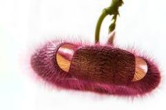 Burgundy för kaktusblommaslut Stapelia Arkivfoto
