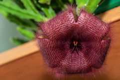 Burgundy för kaktusblommaslut Stapelia Royaltyfria Bilder