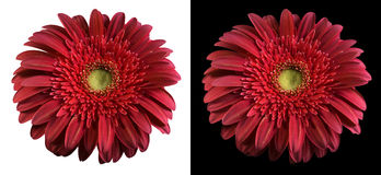 Burgundy flower isolated with clippingpath. Royalty Free Stock Images