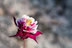 Burgundy flower terry aquilegia Winky on a bed in the summer garden close-up stock photography