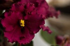 Burgundy flower violet Royalty Free Stock Photos