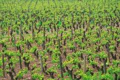 burgundy france vingård arkivfoto