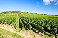 burgundy france vingårdar royaltyfria foton