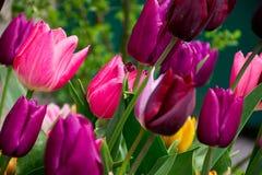 Burgundy i różowi tulipany, plama Obraz Stock