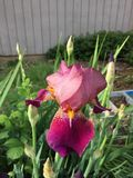 Burgundy Iris. With yellow beard blooming in a Stock Photography