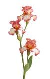 burgundy kwiatów irys odizolowywający trzonu biel Zdjęcia Royalty Free