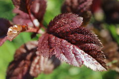 Burgundy leaf Stock Photo