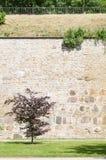 Burgundy leaf tree against medieval limestone wall Royalty Free Stock Photos