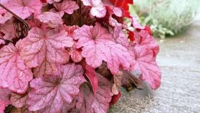 Burgundy leaves in the garden in the foreground. Burgundy leaves in the garden in the foreground stock footage
