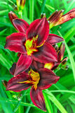 Burgundy lilies flowers in a garden Stock Photography
