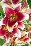 Burgundy Lilies Flowers In A Garden Royalty Free Stock Image
