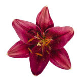 Burgundy lily flower Royalty Free Stock Photography