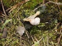 Burgundy ślimaczek na mech w lesie Fotografia Stock
