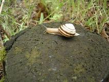 Burgundy ślimaczek na starym drzewnym fiszorku w lesie Obraz Stock