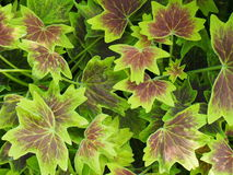 Burgundy And Lime Green Geranium Leaves-Background Royalty Free Stock Images