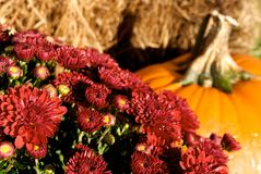 Burgundy Mums, Hay And Pumpkin Stock Photos