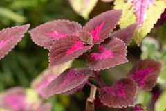 Burgundy nature plant leaf in close up royalty free stock photos