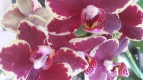 Burgundy orchidea fotografia royalty free