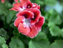 Burgundy pelargonium grandiflorum Royalty Free Stock Images