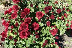 Burgundy red flowers of Chrysanthemum. In autumn Stock Photo