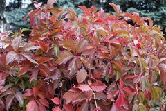 Burgundy red foliage of Parthenocissus quinquefolia. Vine Royalty Free Stock Photo