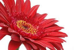 Burgundy red gerber daisy isolated on white Royalty Free Stock Photos