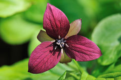 Burgundy red Stinking Benjamin, Trillium erectum Stock Photography