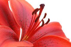 Burgundy red tiger lily isolated on white. Background Royalty Free Stock Photography