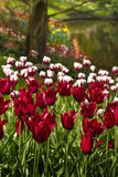 Burgundy red and white tulips. In spring at the waterside Royalty Free Stock Photo