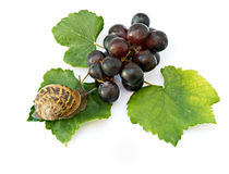 Burgundy (Roman) snail on grapevine. Isolated on white background Royalty Free Stock Photography