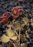burgundy rose, anise, macro flower flower, dark background, evening light stock image
