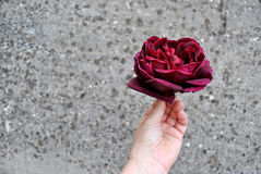 Burgundy Rose in a Hand on the Gray Spotted Background. Hand with a Burgundy Rose as a Gift to express feelings or donate to loved once with appropriate words Royalty Free Stock Image