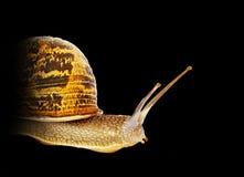 Burgundy snail Stock Photos