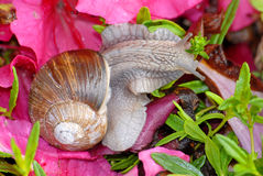 burgundy snail Arkivbilder