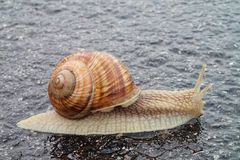 Burgundy snail on asphalt Stock Photos