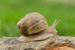 Burgundy snail on a branch. View of the burgundy snail crawling on a branch Stock Images