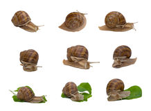 Burgundy snail collage. Burgundy snails (Helix pomatia) collage, isolated on white background Stock Images