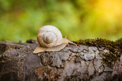 Burgundy snail crawling on its old wood Royalty Free Stock Image