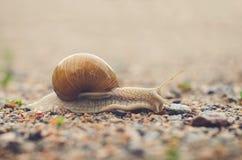 Burgundy snail creeps on gravel Royalty Free Stock Photography