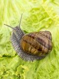 Burgundy snail eating a lettuce leaf Stock Image