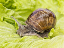 Burgundy snail eating a lettuce leaf Royalty Free Stock Image