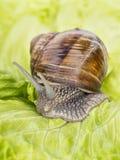 Burgundy snail eating a lettuce leaf Stock Images
