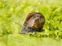 Burgundy snail eating a lettuce leaf Royalty Free Stock Photo