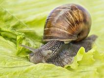 Burgundy snail eating a lettuce leaf Royalty Free Stock Images