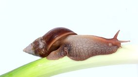 Burgundy snail eating a on the onion Royalty Free Stock Photography